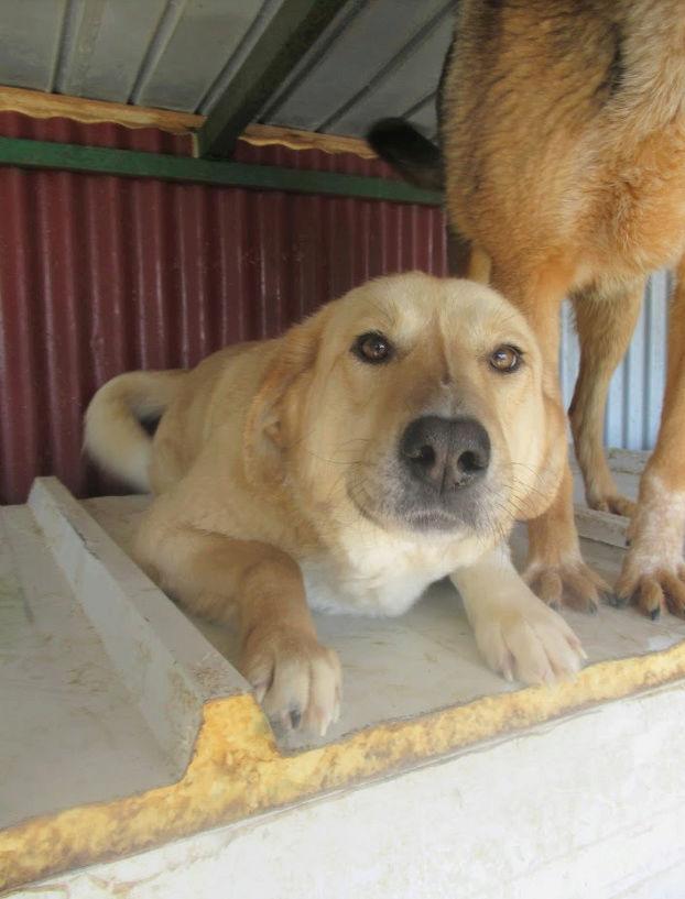 SHYVA - femelle croisée Labrador de taille moyenne à grande, née environ en février 2014 - (Pascani) adoptée par Aurélie (Belgique) - DECEDEE - Page 2 Shyva310
