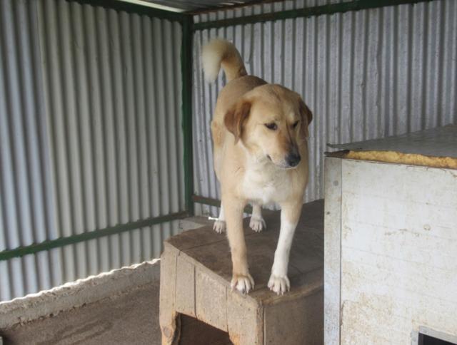 SHYVA - femelle croisée Labrador de taille moyenne à grande, née environ en février 2014 - (Pascani) adoptée par Aurélie (Belgique) - DECEDEE - Page 2 Shyva410