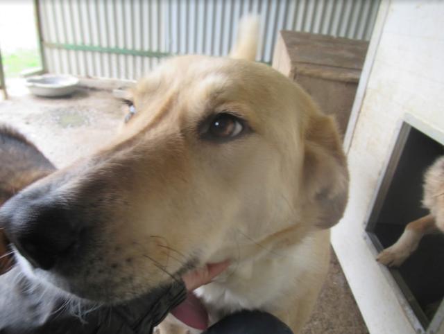 SHYVA - femelle croisée Labrador de taille moyenne à grande, née environ en février 2014 - (Pascani) adoptée par Aurélie (Belgique) - DECEDEE - Page 2 Shyva510