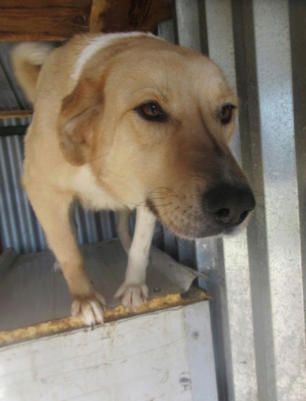 SHYVA - femelle croisée Labrador de taille moyenne à grande, née environ en février 2014 - (Pascani) adoptée par Aurélie (Belgique) - DECEDEE - Page 2 Shyva610