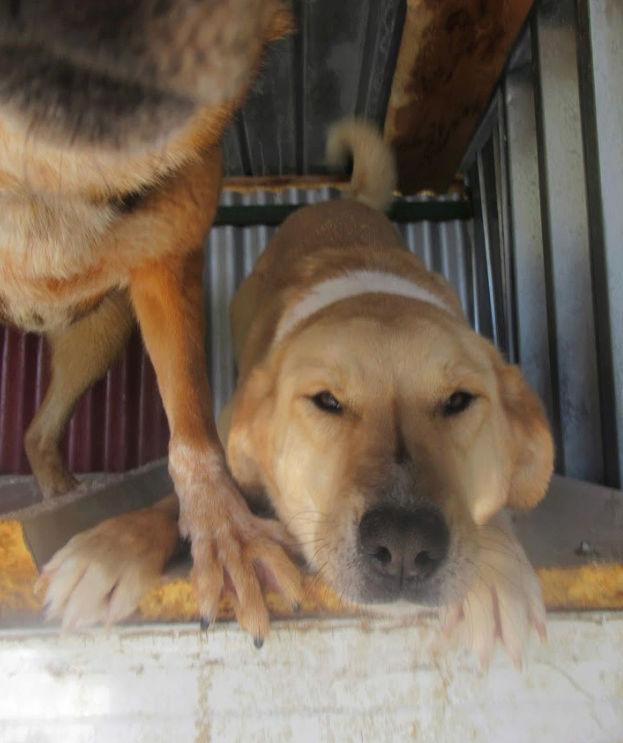 SHYVA - femelle croisée Labrador de taille moyenne à grande, née environ en février 2014 - (Pascani) adoptée par Aurélie (Belgique) - DECEDEE - Page 2 Shyva710