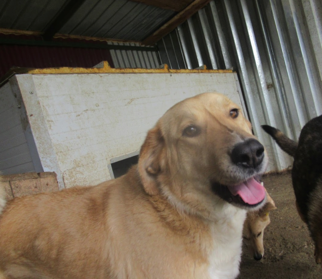 SHYVA - femelle croisée Labrador de taille moyenne à grande, née environ en février 2014 - (Pascani) adoptée par Aurélie (Belgique) - DECEDEE - Page 2 Shyva810
