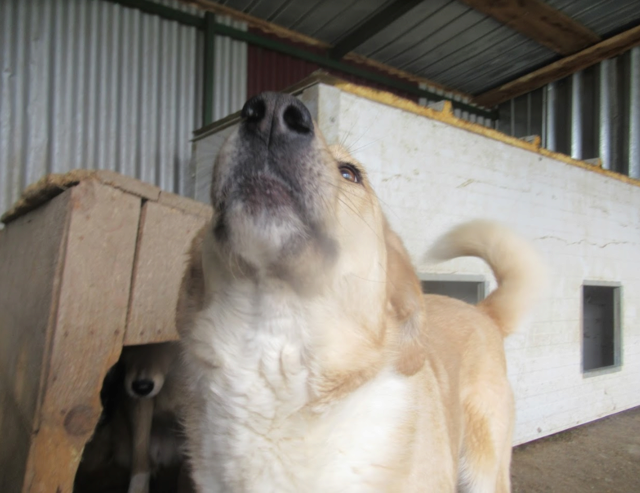 SHYVA - femelle croisée Labrador de taille moyenne à grande, née environ en février 2014 - (Pascani) adoptée par Aurélie (Belgique) - DECEDEE - Page 2 Shyva910