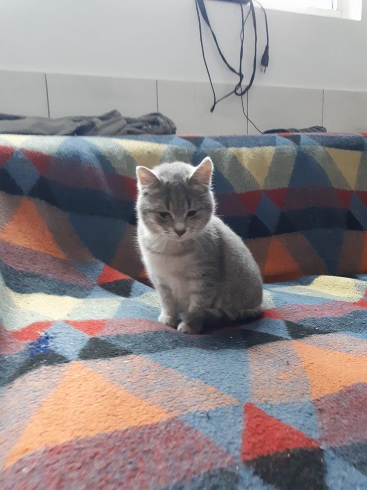 Miss TIGRIS - chat femelle, née en octobre 2017 - en FA chez Abysse (92) - Adoptée par Anne (Belgique) - !! EN FUGUE HELP !! Tigris11