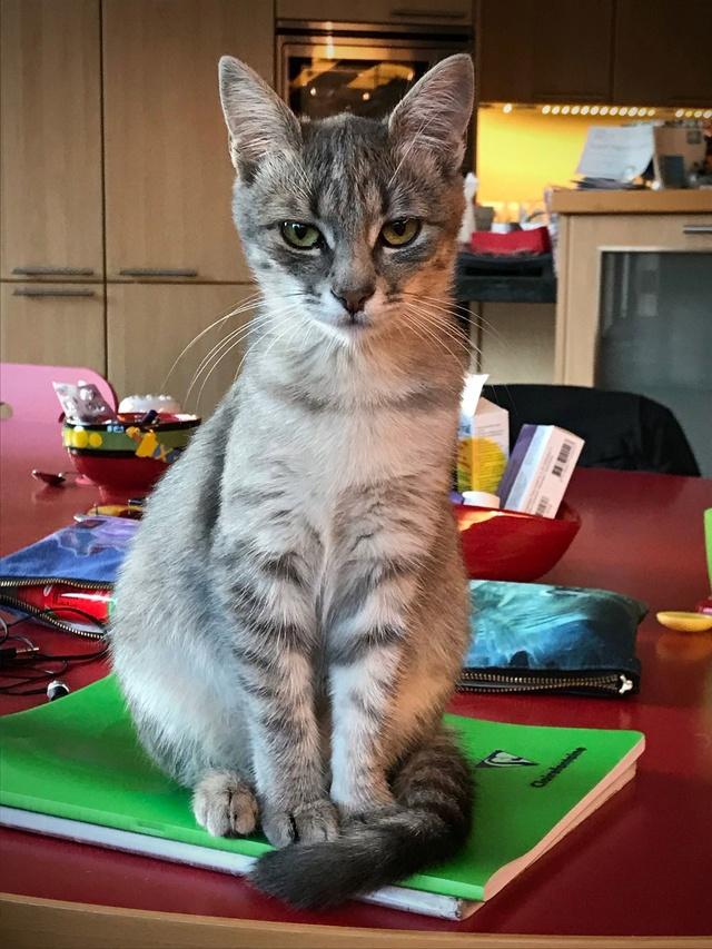 Miss TIGRIS - chat femelle, née en octobre 2017 - en FA chez Abysse (92) - Adoptée par Anne (Belgique) - !! EN FUGUE HELP !! Tigris16