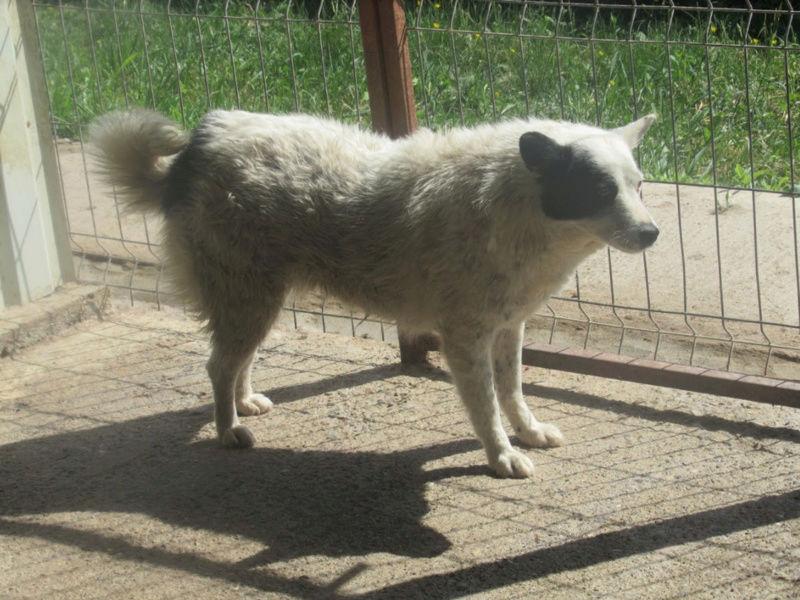 VOLGA - femelle croisée de taille moyenne, née env 2011 Sociable et douce (PASCANI) - REMEMBER ME LAND - DECEDEE Volga110