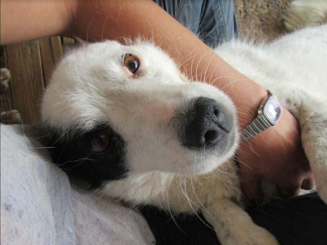 VOLGA - femelle croisée de taille moyenne, née env 2011 Sociable et douce (PASCANI) - REMEMBER ME LAND - DECEDEE Volga111