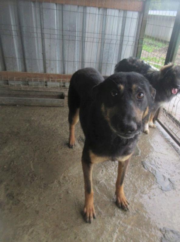 ZIGZAG, chien battu et martyrisé - mâle croisé Berger Allemand, taille moyenne, né environ 2008 - (PASCANI) REMEMBER ME LAND - Adopté par Laury-Anne (35) Zigzag12