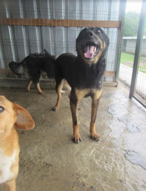 ZIGZAG, chien battu et martyrisé - mâle croisé Berger Allemand, taille moyenne, né environ 2008 - (PASCANI) REMEMBER ME LAND - Adopté par Laury-Anne (35) Zigzag14