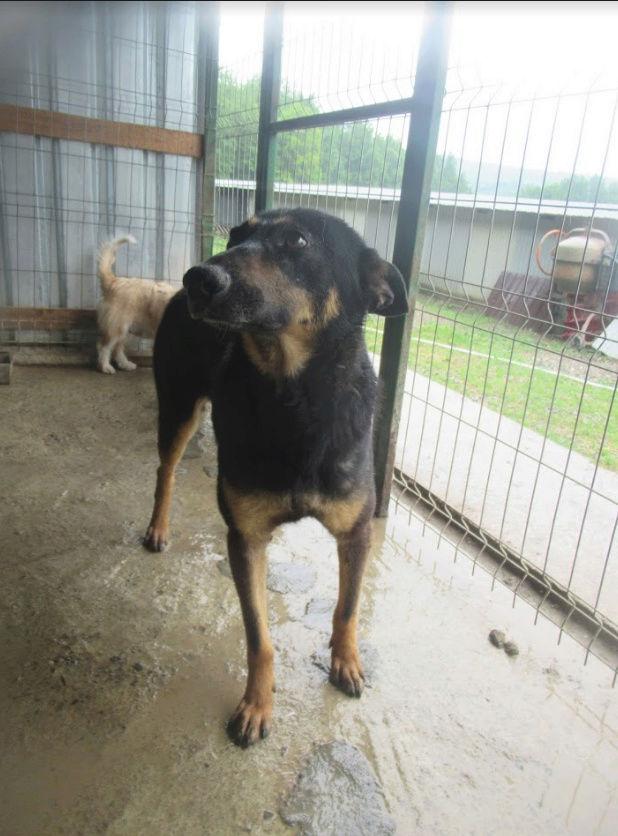 ZIGZAG, chien battu et martyrisé - mâle croisé Berger Allemand, taille moyenne, né environ 2008 - (PASCANI) REMEMBER ME LAND - Adopté par Laury-Anne (35) Zigzag15