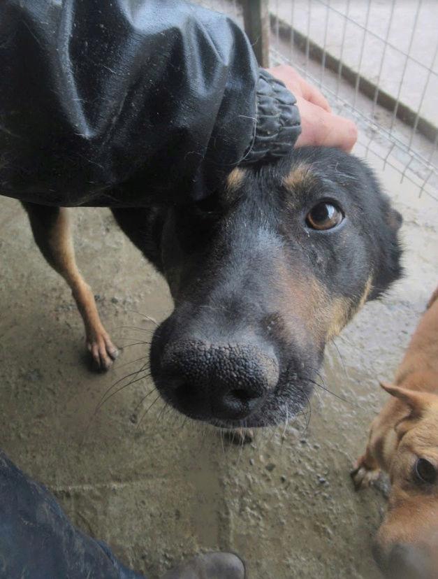 ZIGZAG, chien battu et martyrisé - mâle croisé Berger Allemand, taille moyenne, né environ 2008 - (PASCANI) REMEMBER ME LAND - Adopté par Laury-Anne (35) Zigzag16