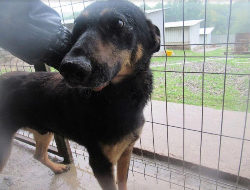 ZIGZAG, chien battu et martyrisé - mâle croisé Berger Allemand, taille moyenne, né environ 2008 - (PASCANI) REMEMBER ME LAND - Adopté par Laury-Anne (35) Zigzag19