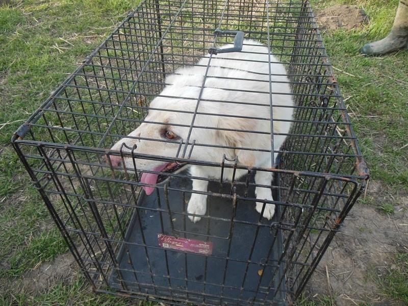 BALANUCH, mâle croisé berger sauvé de Pallady, né en 2009 parrainé par Nathalie Gamblin-SC-R-SOS- - Page 2 29683812