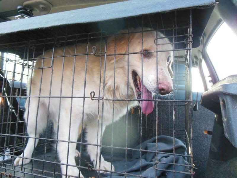 BALANUCH, mâle croisé berger sauvé de Pallady, né en 2009 parrainé par Nathalie Gamblin-SC-R-SOS- - Page 2 29791111
