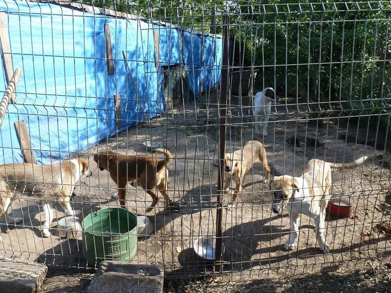 ELENA - femelle née en 2016 et ses 4 chiots sauvés de l'équarissage de BRAGADIRU - parrainée par Marguerite V. -R- 32336710