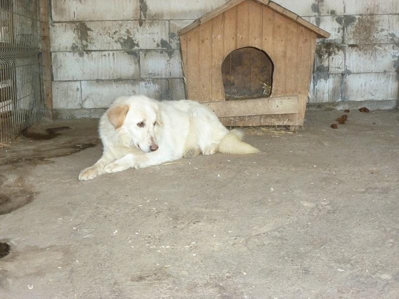 BALANUCH, mâle croisé berger sauvé de Pallady, né en 2009 parrainé par Nathalie Gamblin-SC-R-SOS- - Page 2 32422910