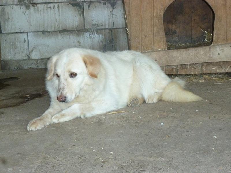 BALANUCH, mâle croisé berger sauvé de Pallady, né en 2009 parrainé par Nathalie Gamblin-SC-R-SOS- - Page 2 32440510