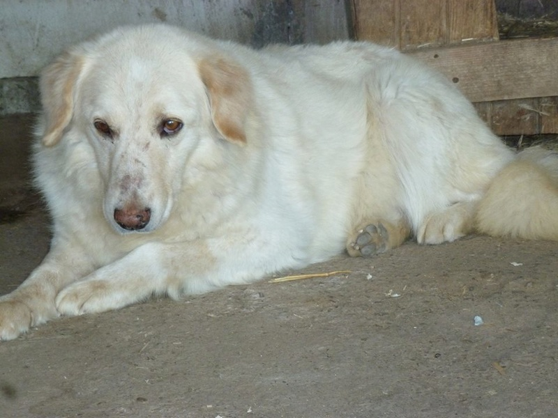 BALANUCH, mâle croisé berger sauvé de Pallady, né en 2009 parrainé par Nathalie Gamblin-SC-R-SOS- - Page 2 32508710