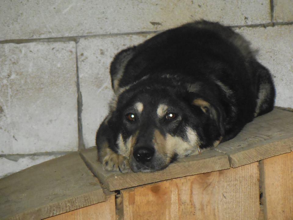 SOUKI, Femelle type berger, née en 2014 - Noire et crème- marrainée par Myri_Bonnie -R-SC-SOS- 33128411