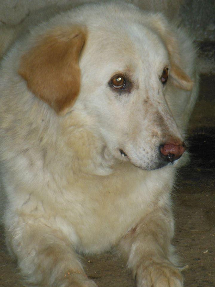 BALANUCH, mâle croisé berger sauvé de Pallady, né en 2009 parrainé par Nathalie Gamblin-SC-R-SOS- - Page 2 33130913