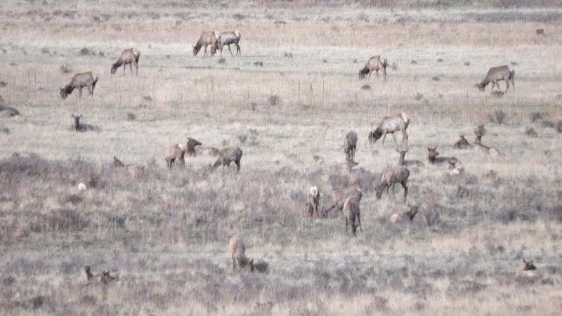 Saw a few elk 100_1413