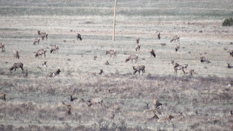 Saw a few elk 100_1414