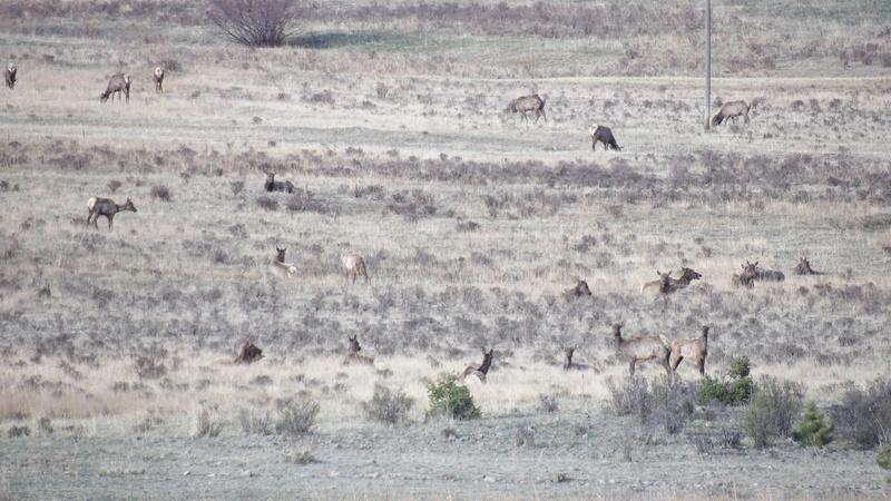 Saw a few elk 100_1415