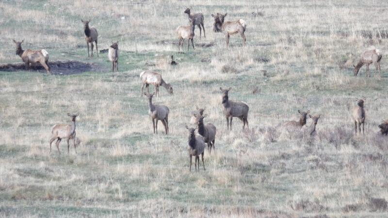 Saw a few elk 100_1418
