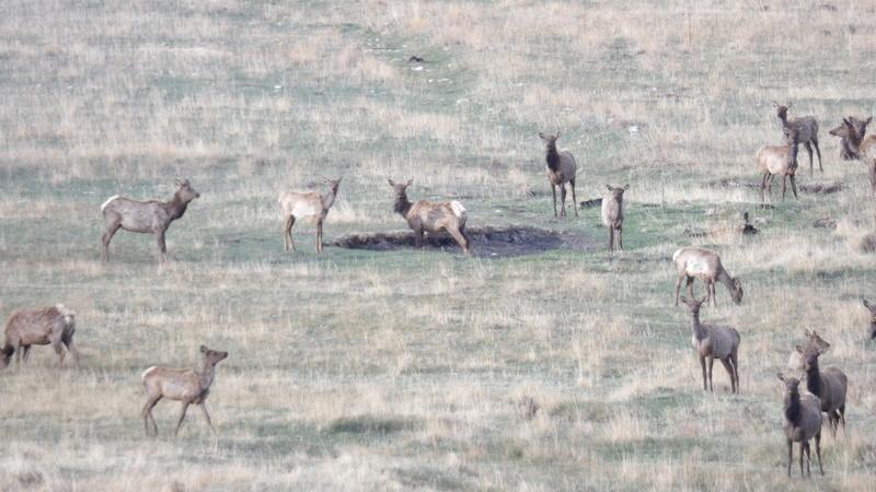 Saw a few elk 100_1419