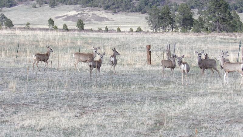 Saw a few elk 100_1422