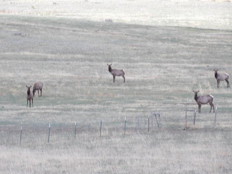 Saw a few elk 100_1424