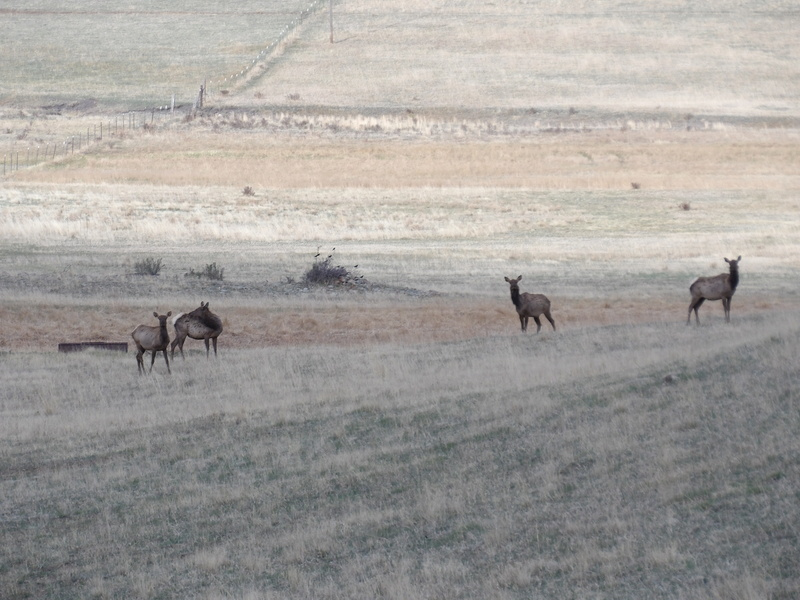 Saw a few elk 100_1431