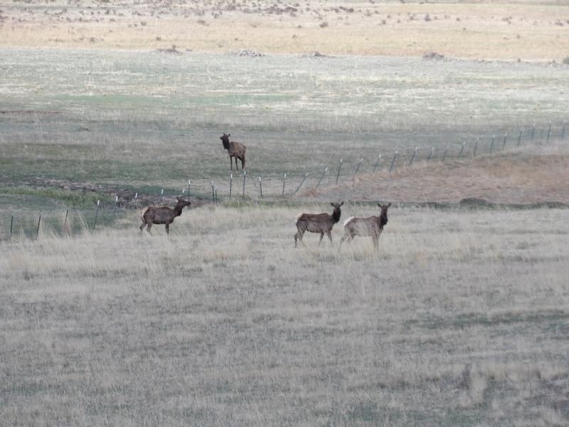 Saw a few elk 100_1433