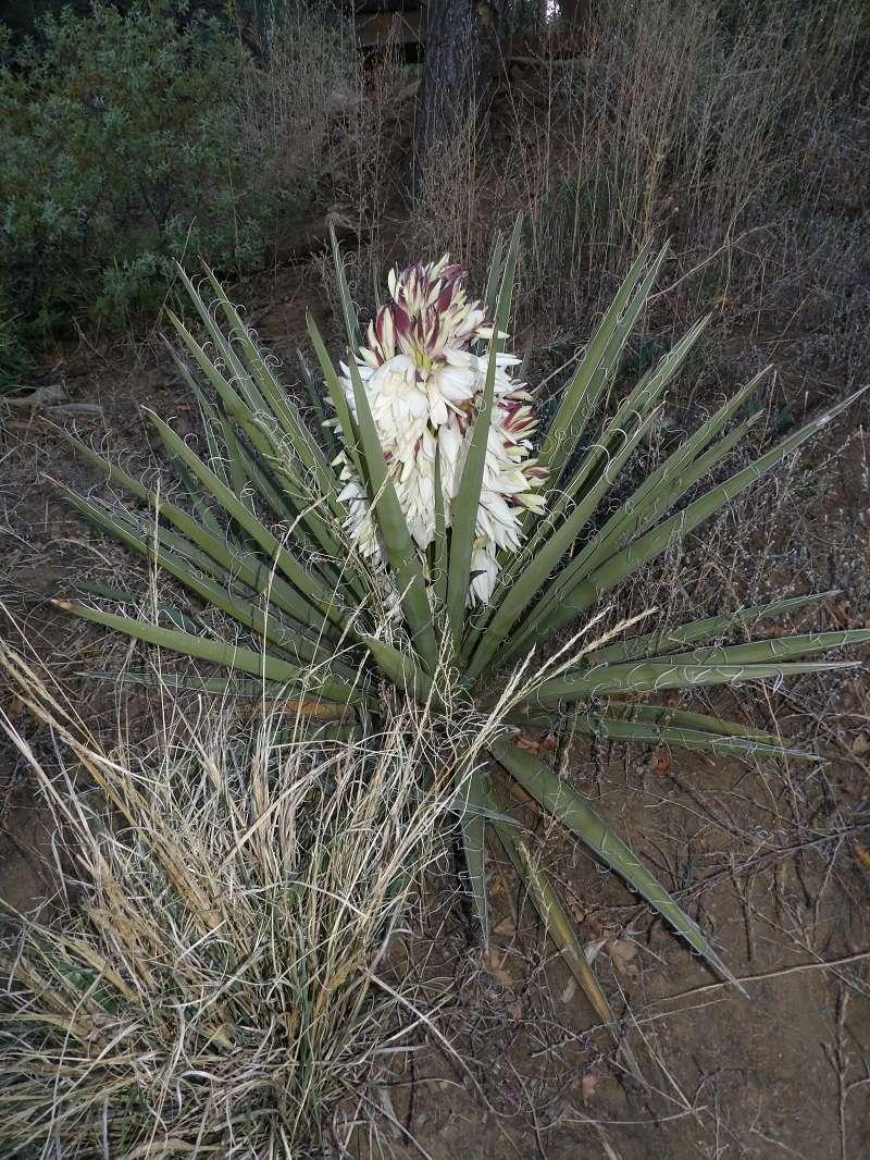 Huge yucca bloom! 100_1520