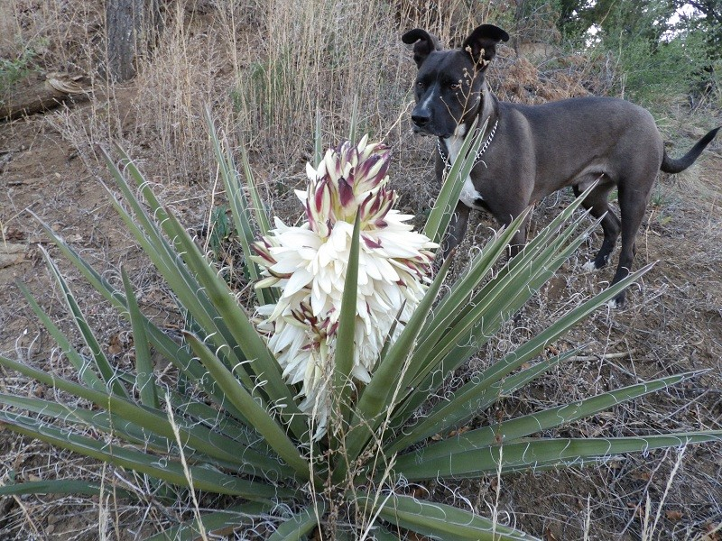 Huge yucca bloom! 100_1521