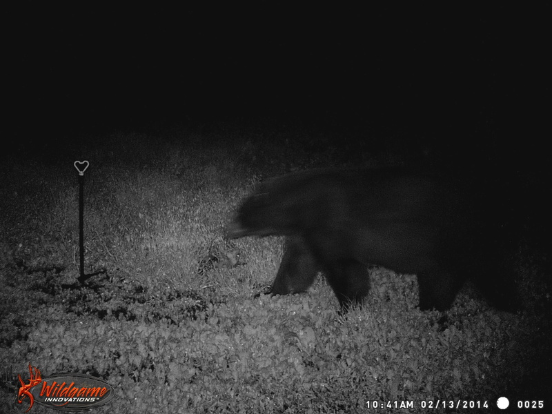 First bear of the year Wgi_0010
