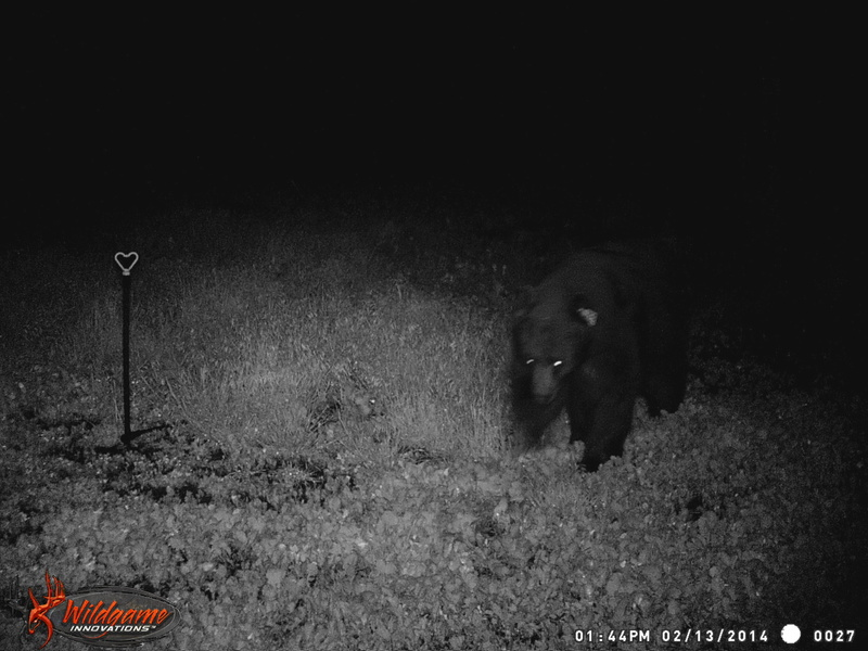 First bear of the year Wgi_0011