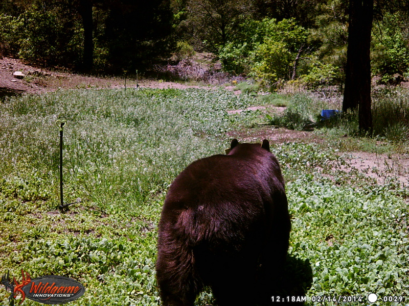 First bear of the year Wgi_0012