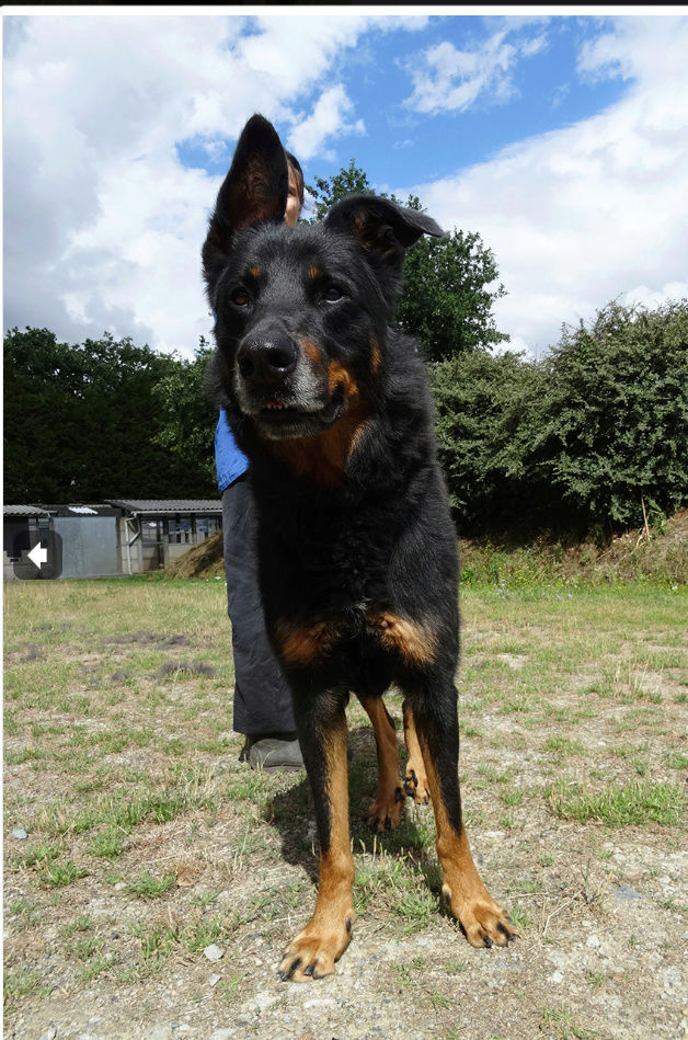 Gun mâle beauceron né en 2011 Screen59