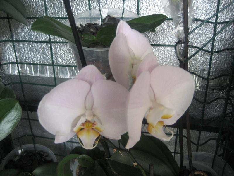 Mes phalaenopsis Img_0456