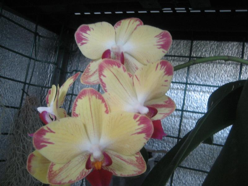 Mes phalaenopsis Img_0458