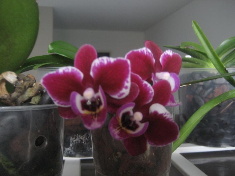 Mes phalaenopsis Img_0510