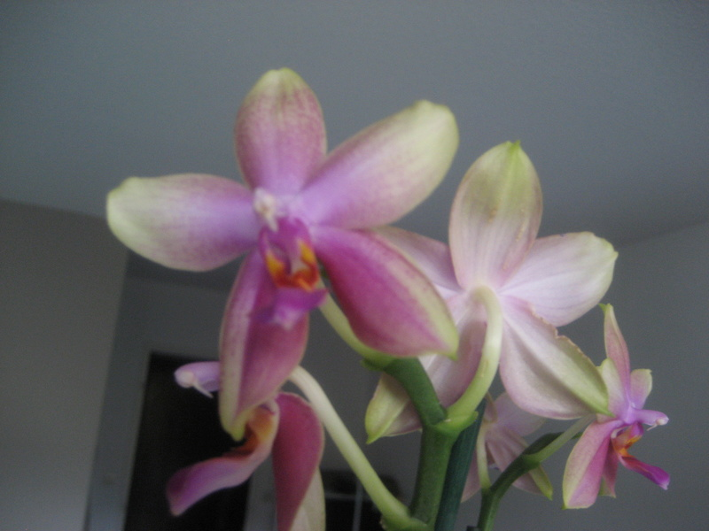 Mes phalaenopsis Img_0516