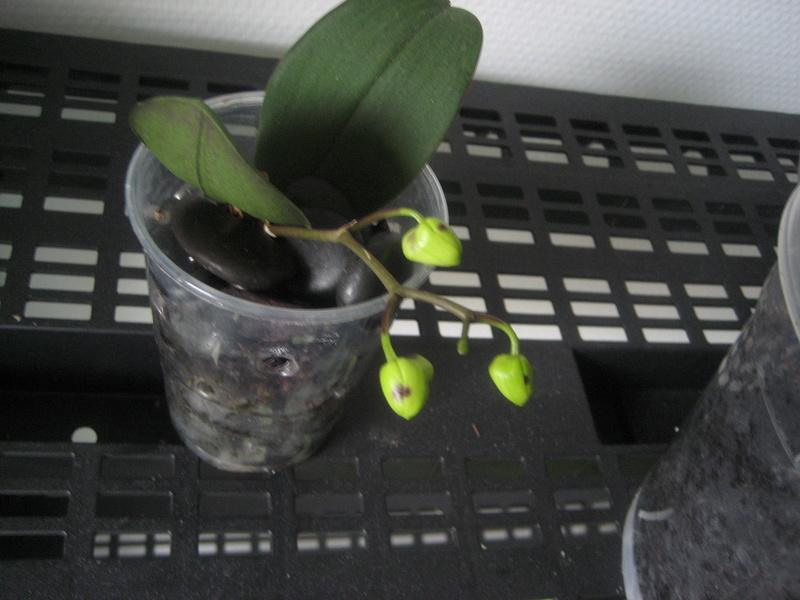 Mes phalaenopsis Img_0521