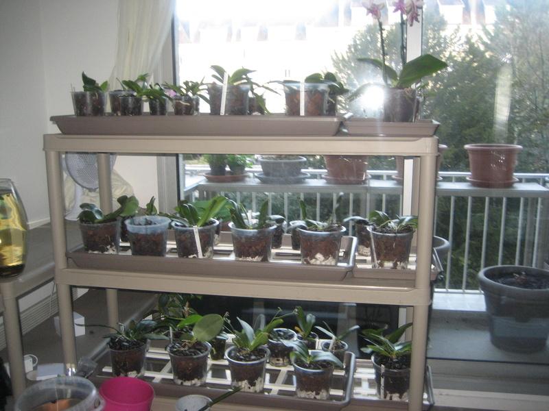 Mes phalaenopsis Img_0525