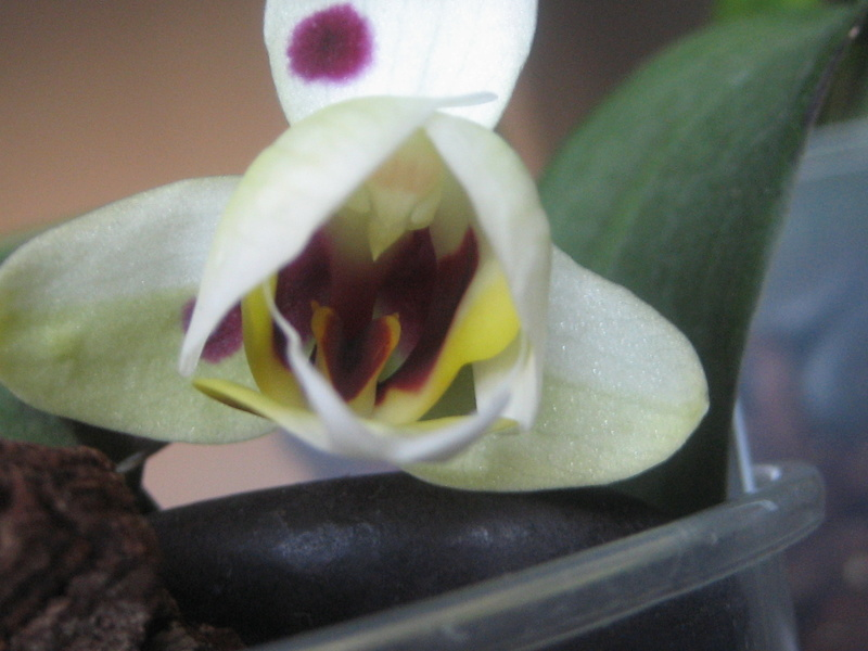 Mes phalaenopsis Img_0536