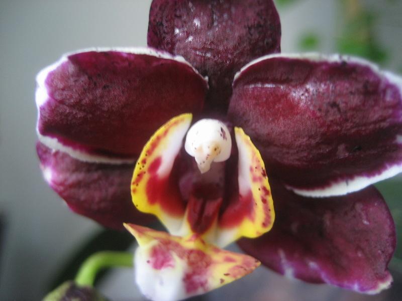 Mes phalaenopsis Img_0612