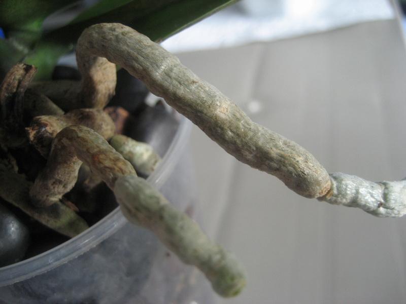 Mes phalaenopsis Img_0618