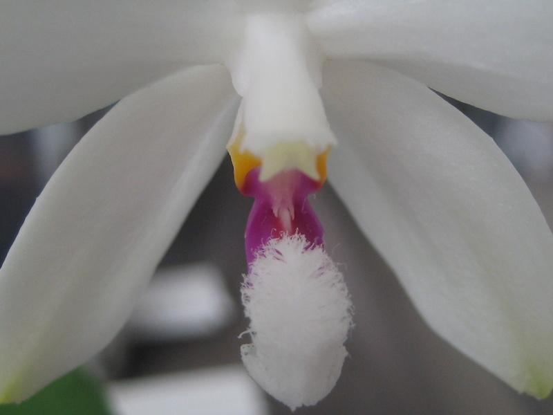 Mes phalaenopsis Img_0633