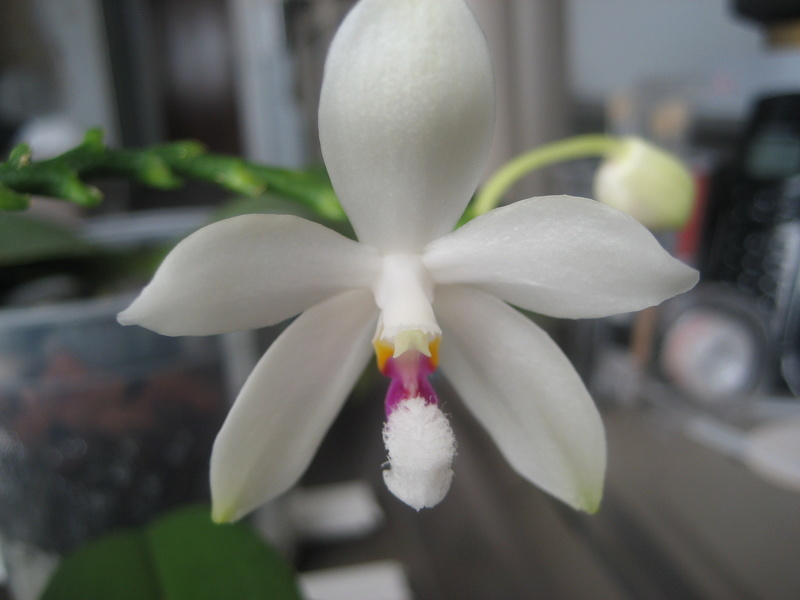 Mes phalaenopsis Img_0634
